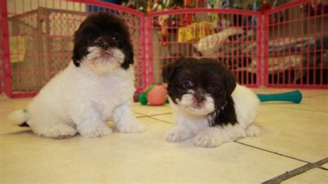 pug puppies for sale augusta ga precious chocolate and white shih poo puppies for sale in at puppies for