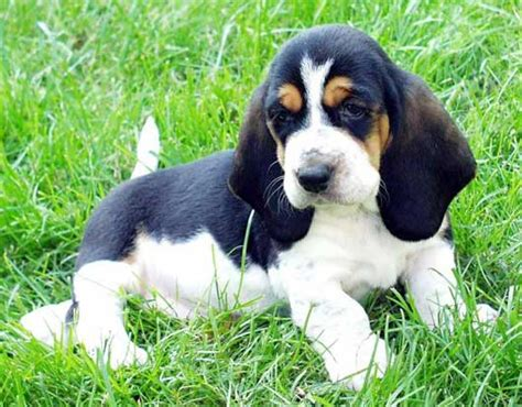 free basset hound puppies basset hound puppy 26 free wallpaper dogbreedswallpapers