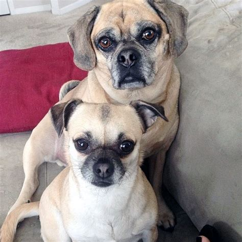 pictures of puggle puppies get mixed up with these precious puggle puppy pictures