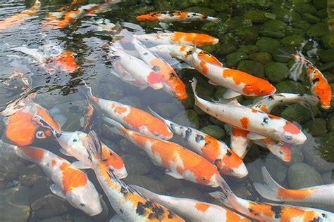 Bibit Ikan Koi Berkualitas harga bibit ikan koi murah dan berkualitas suiglenews