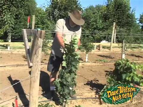 dave wilson nursery backyard orchard backyard orchard demo first pruning part two youtube