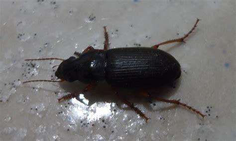 insectes dans la cuisine carabidae identification blatte le monde des