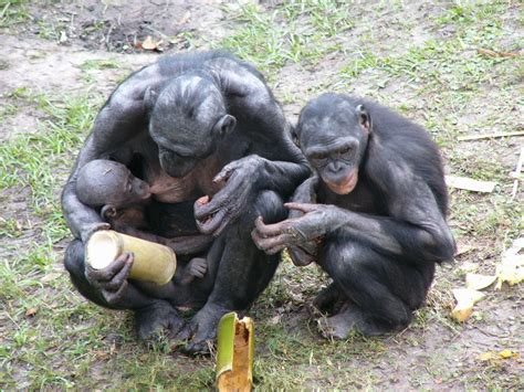 The Online Zoo - Bonobo