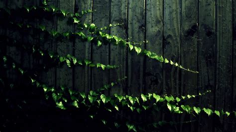 green vine wallpaper creeping vine full hd wallpaper and background 2560x1440