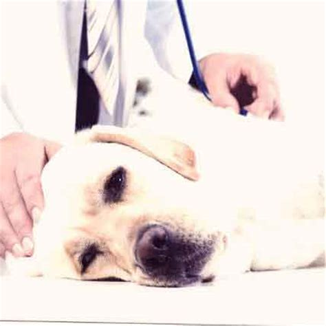 congestive failure dogs 4 dangers of an enlarged in dogs petcarerx