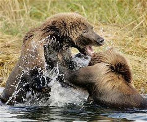 imagenes de leones y osos las mejores fotos de osos im 225 genes de osos