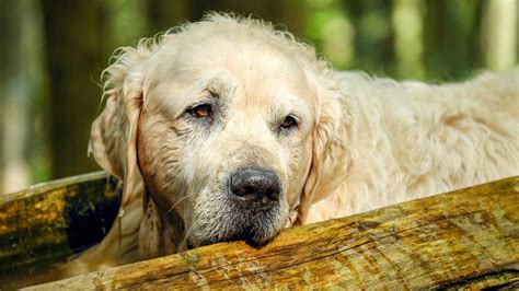 golden retriever bone cancer symptoms archives posts on various common types of cancer