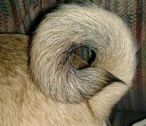 pug tails chewy s pug donut my pug chewy