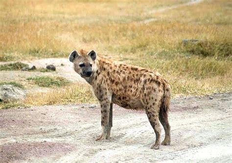 imagenes de leones vs hienas image gallery llena animal