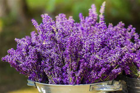 lavanda pianta in vaso pianta lavanda aromatiche pianta della lavanda