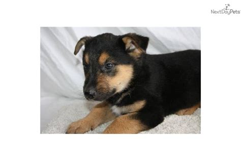 blue heeler german shepherd mix puppy blue heeler german shepherd memes