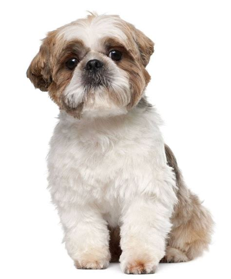 shih tzu boy puppy names shih tzu names names for your pup