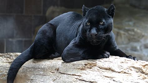 Black Panthers Also Search For Black Panthers Are Not A Species So What Are They Nerdist