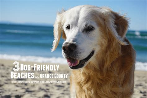 golden retriever puppies orange county 3 friendly beaches in orange county sugar the golden retriever