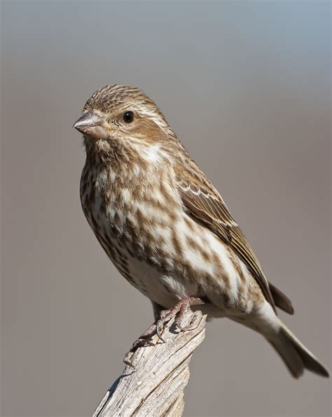 house finch female winter finches roads end naturalist