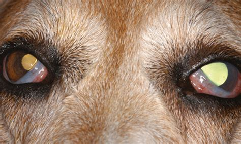 anisocoria in dogs anisocoria in dogs driverlayer search engine