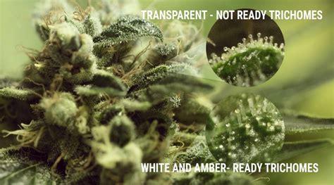 le uv cannabis importance des trichomes du cannabis rqs