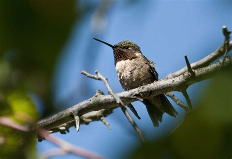 ruby throated hummingbird migration begins my chicago