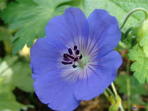 Fleurs Bleues Vivaces by Photo G 233 Ranium Vivace 224 Fleurs Bleues