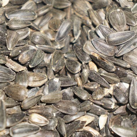 black sunflower seeds for deer black sunflowers