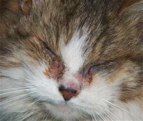 cat eye infection home remedies causes and pictures