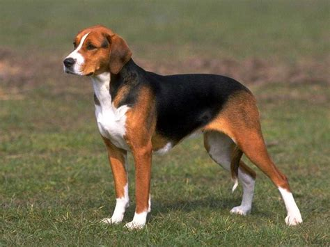 beagle breed beagle in history of foxhound