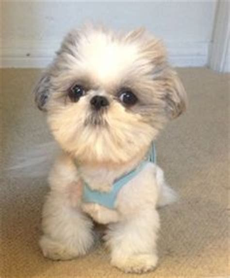 Do Shih Tzu Shed by Shih Tzu Dont Shed Breeds Picture