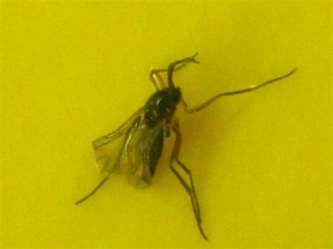 lots of gnats in backyard tiny flies in house plants 28 images fungus gnats find point origin annoying