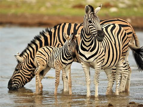 colorful animals zebra family pool  water drinking