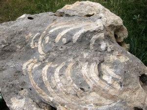 deniz inegi fosili deretepenet