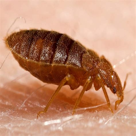 what do bed bug look like kilohana k9s official blog what do bed bug bites look like