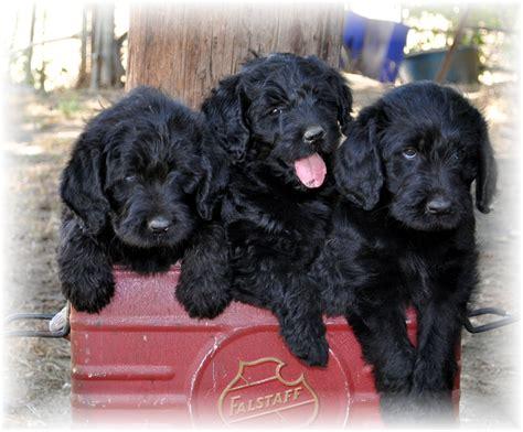 labradoodle puppies for sale poolador doodle ranch f1 labradoodle puppies for sale