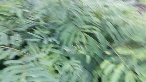 Bibit Kaliandra bibit tanaman kaliandra sit kalimantan tengah hp