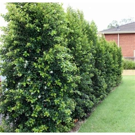 Buy Lilly Pilly Backyard Bliss Online Plants