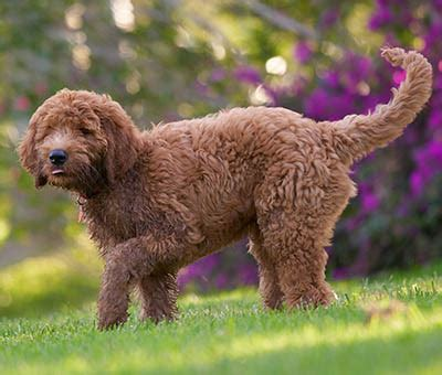 golden retriever x poodle puppies for sale golden retriever x poodle for sale dogs in our photo