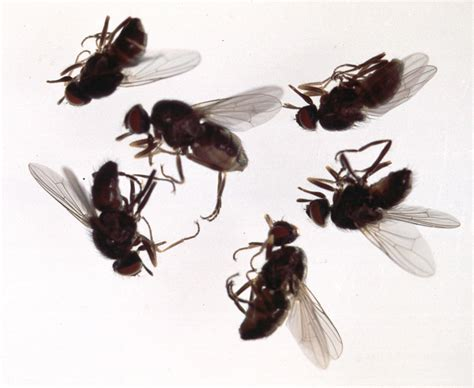 Build Small House by File Haematobia Flies Jpg Wikimedia Commons