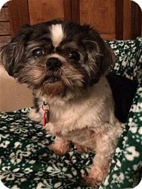 shih tzu rescue ohio toledo oh shih tzu mix meet dunder a for adoption
