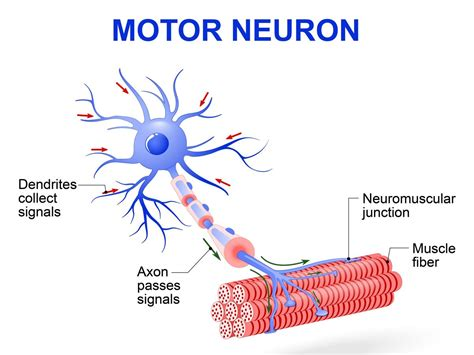 motor functions get a sneak peek into the types of neurons and their functions