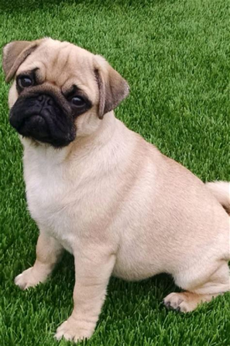 fawn pug for sale masse s pudgy pugs akc registered pugs puppies available fawn pug for sale