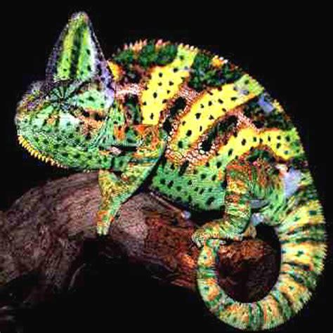 chameleon care sheet