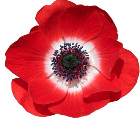 Sulap Five In One Flower transparent flowers poppy anemone anemone coronaria x flowers flowers