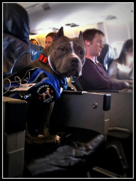service dogs on planes therapy on the plane pitbulls
