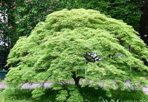 Types Of Garden Bushes - weeping green leaf japanese maple for sale the planting tree