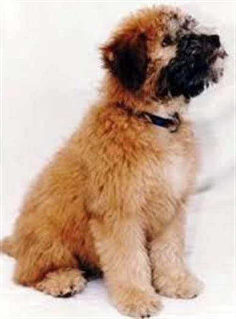 medium sized hypoallergenic dogs medium size dogs on medium breeds wheelchair and