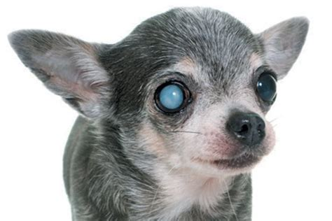 sards in dogs jeffrey welch s keeping an eye on sards and other eye diseases