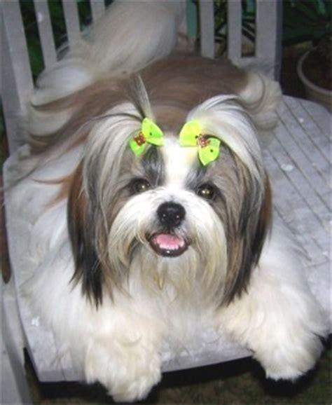 info on shih tzu dogs shih tzu info animals wiki pictures stories