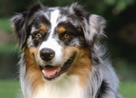 shepherd dogs australian shepherd photo and wallpaper beautiful australian shepherd