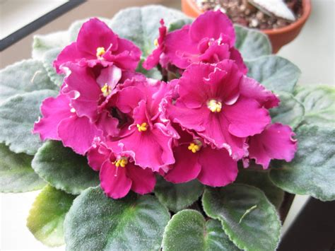 african violet chicago northern exposure random gesneriads part 1