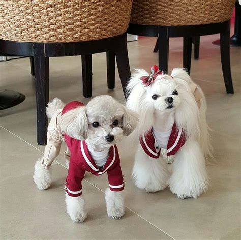 why has my maltese terrier got thin hair 358 best maltese lovin images on pinterest doggies