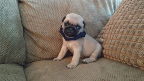 pugs for sale in south carolina pug puppies for sale in carolina south carolina nc sc carolina pugs